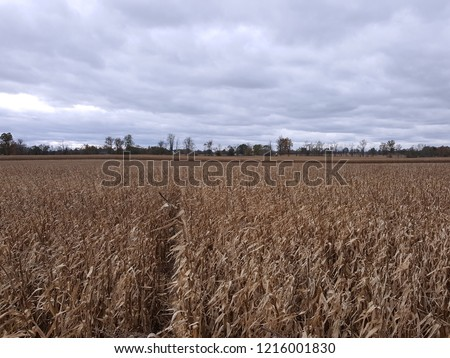 Pathway in a corn maze with corn stalks blowing in the wind, and a forest in the background.