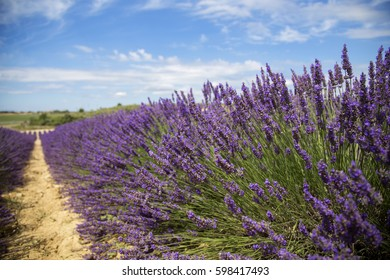 Pathway in a countryside lavender field in a summer day under a blue cloudy sky