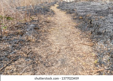 pathway in the forest after the fire, a small burnt tree, burnt grass in early spring or autumn