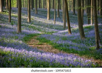 Pathway in Hallerbos forest betwen blue bells