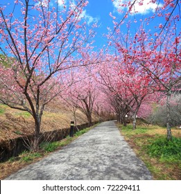 pathway into spring cherry blossom trees