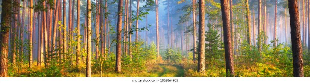 Weg in einem majestätischen immergrünen Pinienwald in einem Morgennebel. Alte Baumsilhouetten, Nahaufnahme. Naturtunnel. Atmosphärische traumhafte Landschaft. Sonnenstrahlen, blaues Licht. Panoramablick