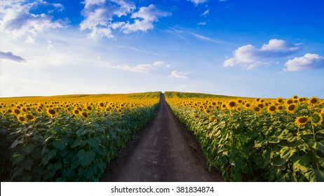 Pathway In Sunflower fields in Morning.