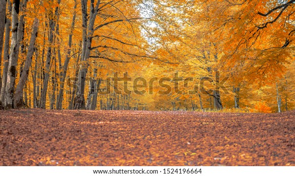 Pathway through the autumn forest, yellow trees, beautiful fall scenery