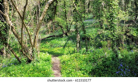 Pathway Through Bluebell Wood. Bare trees in a sea of green with an early mist of bluebells in background. Bluebells appear in the shade in the bottom right corner.