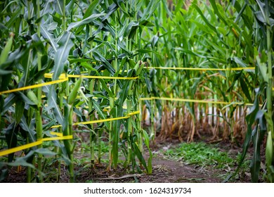 Pathway through a corn maze