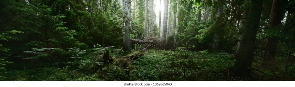 Pathway through the dark evergreen forest. Mighty pine, spruce, fir trees. Moss, fern, plants, tree logs. Atmospheric landscape. Pure nature, climate, seasons, rainforest. Panoramic view