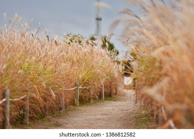 pathway through a field of tall silver grass eulalia field in autumn with dept of field