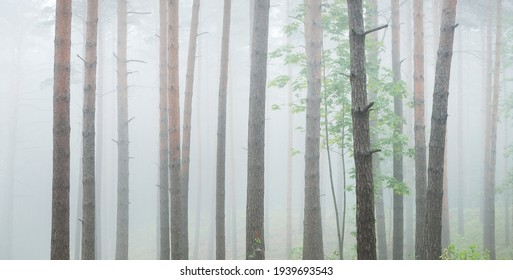Pathway through the majestic evergreen forest. Mysterious fog. Fir, spruce, pine trees. Idyllic summer scene. Nature, ecology, environmental conservation. Dark atmospheric landscape. Panoramic view