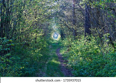 Pathway through a tunnel of green leaves on the swedish island Oland