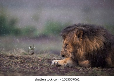 Patience ! Lion waits out the rain at Masai Mara.  Lion in Rain.