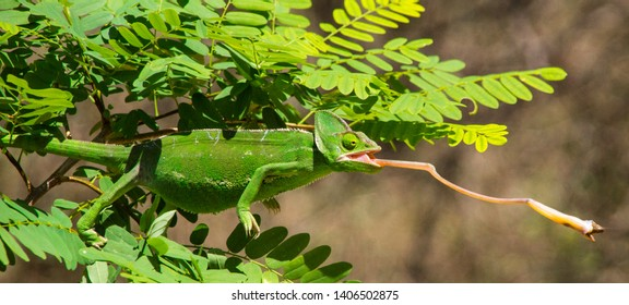 A lot of patience was needed for this picture. In the end the chameleon caught the grasshopper and made me a very happy person! Impessive to see how perfectly it copies the colour of the branches.