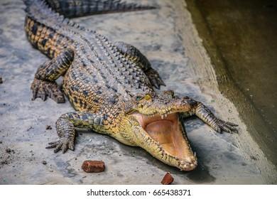 Patient Crocodile
