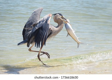A Patient Mature Great Blue Heron Trots Away with a Huge Lady Fish Discarded by a Florida Shore Fisherman