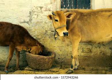 Patriarchal idyllic picture (pastoral). Cow with tambourine and calf near ancient wooden manger (stupa) in barnyard, household