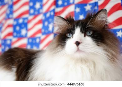 Patriotic American 4th of July Ragdoll Bi Color Cat