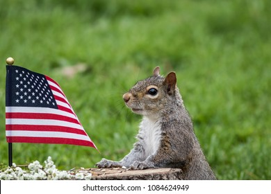 A patriotic gray squirrel (Sciurus carolinensis) stands near American Flag and smiles