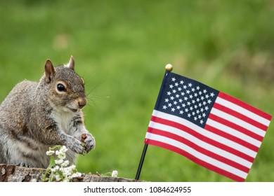 A patriotic gray squirrel (Sciurus carolinensis) stands near American Flag and smiles