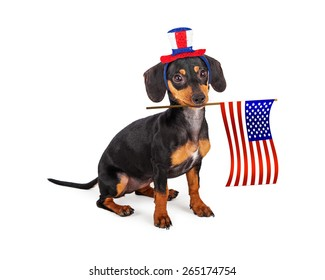 A patriotic little purebred Dachshund breed puppy dog wearing a red, white and blue hat and holding an American Flag in his mouth.