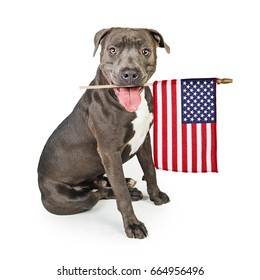 Patriotic Pit Bull dog carrying American flag in mouth