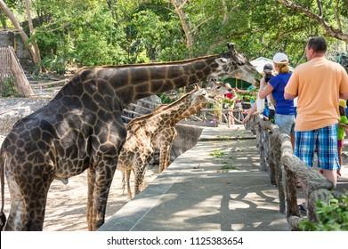 PATTAYA, THAILAND - FEBRUARY 01, 2017: View of tourists feeding giraffes in Khao Kheow Open Zoo in Pattaya, Thailand