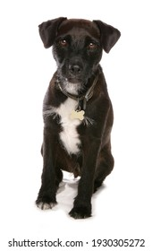Patterdale terrier dog isolated on a white background