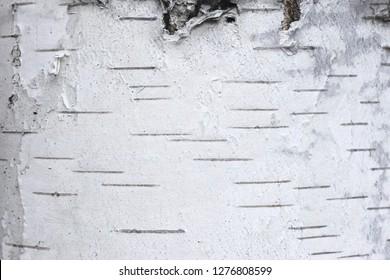 pattern of birch bark with black birch stripes on white birch bark and with wooden birch bark texture
