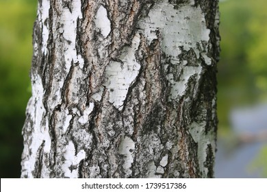 pattern of birch bark with black birch stripes on white birch bark and with wooden birch bark texture