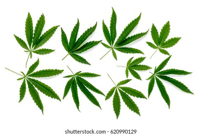 The pattern of a cannabis leaves isolated  on a white background.