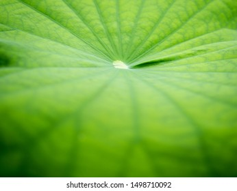 The Pattern  of Center Point of Lotus Leaf in The Pond