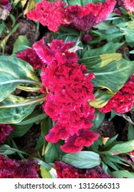 Pattern of Cockscomb flower or Celosia argentea var. cristata L.red-pink colorful on green leafs,close up.
