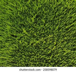 Pattern of Cupressus sempervirens, the Mediterranean cypress