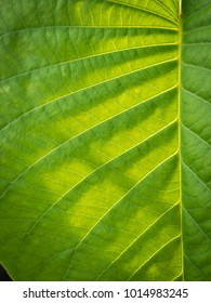 The Pattern of Elephant Climber Striped Leaf Exposed to Sunlight