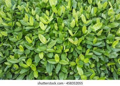 Pattern of green leaf in garden decoration