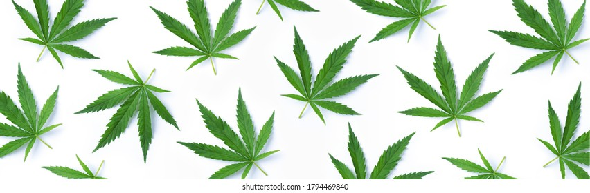 Pattern of hemp or cannabis leaves isolate on white background. Top view. Flat lay. Close up of fresh cannabis leaves for your design. Banner.