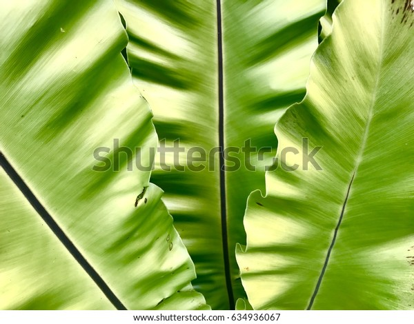 Pattern of leaves of bird nest fern. (Scientific : Asplenium nidus is an epiphyticspecies of fern in the family Aspleniaceae)