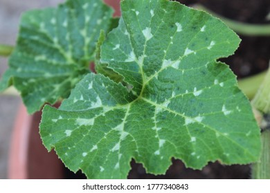 Pattern of pumpkin maxima   leaves spreading in the morning, cucurbita maxima leaves, Taxture of cucurbita maxima leaves,nature green background