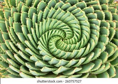 Pattern of spiral aloe (Aloe Polyphylla).