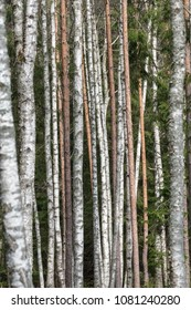 Pattern of sunlit pine and birch tree trunks