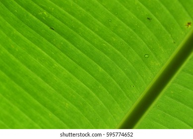 Pattern and texture of banana leaves for background with backlit from sunlight. (Selective focusing)