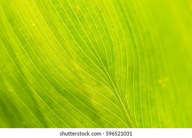 Pattern, texture and details of leaf for background. Leaf with backlit from sunlight. (Selective focusing)