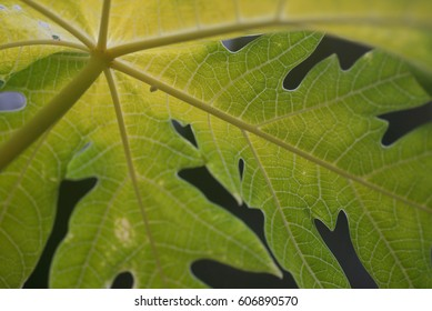 Pattern and texture of papaya leaf for background. (Selective focusing)
