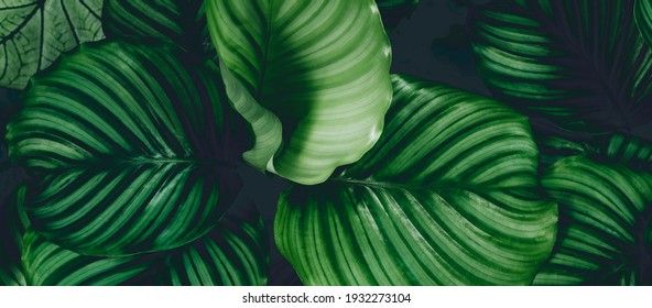 Pattern top view leaf layers of Calanthe orb folia plant or air purification trees in dark green tone. Home gardening house plant decorate and abstract background concept.