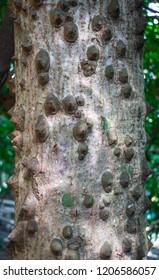 Pattern of the trunk of Kapok tree, Red silk cotton tree (Bombax ceiba L. or Bombax malabaricum DC.) or Bombax ceiba tree in the nature forest of Thailand