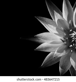 pattern of the water lily flower in half piece isolated on black background as low key picture (grayscale picture)