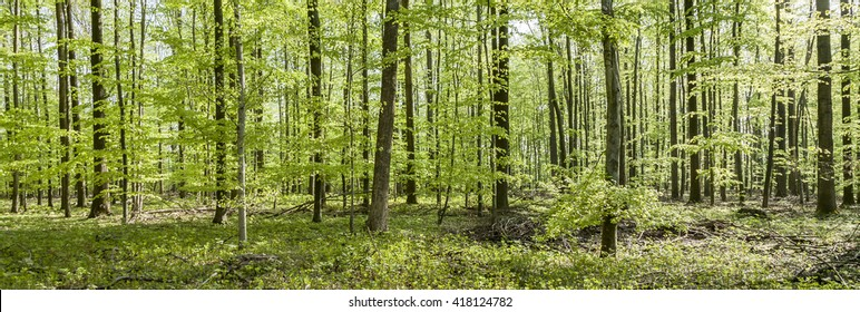 pattern of young oak trees in the forest