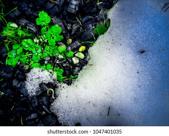 Patterned, abstract surface of the soil at spring. Close up of the herb near the melting snow on the coaly soil. The beginning of spring.