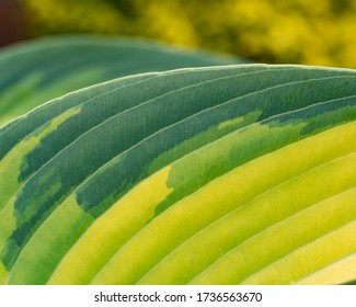 A patterned Hosta leaf close-up its natural veins, colouring and patterns.
