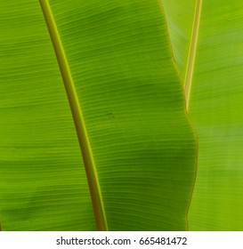 Patterns in Nature on Banana Tree Leaf