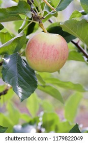 A paula red apple in a tree in late summer